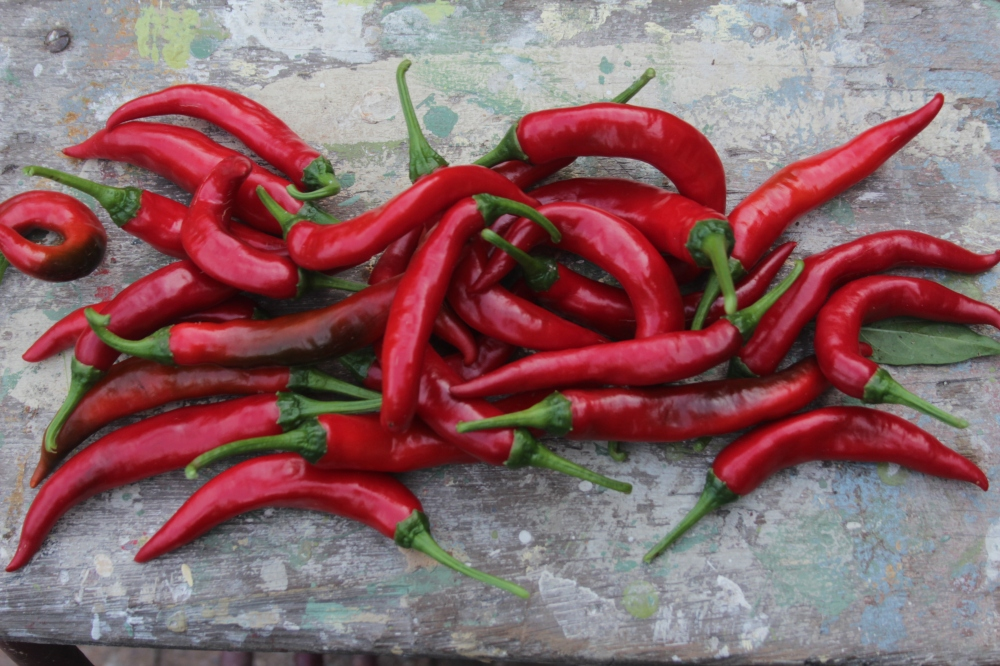 chili harvest (19)