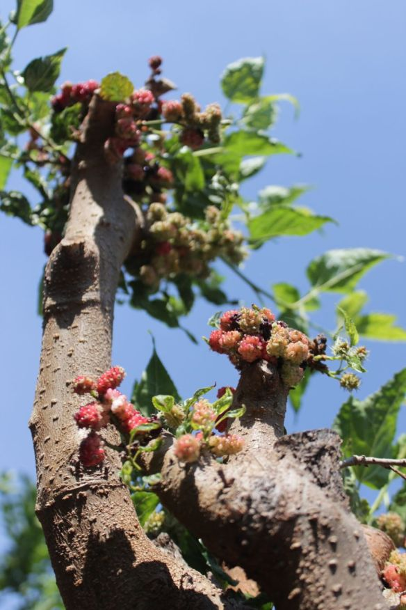 mulberry pruning