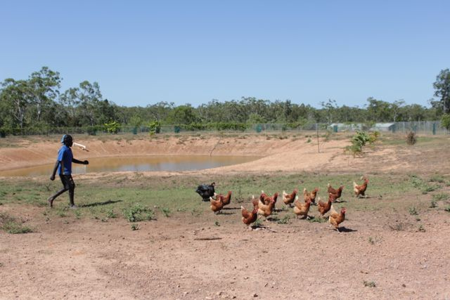 tiwi chooks