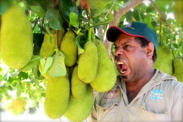 tiwi jack fruit