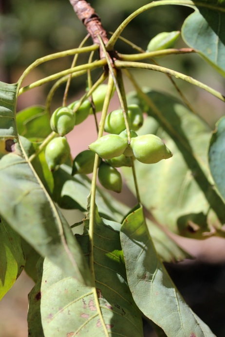 kakadu plums with leaves