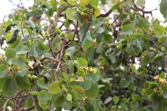 Planchonia foliage