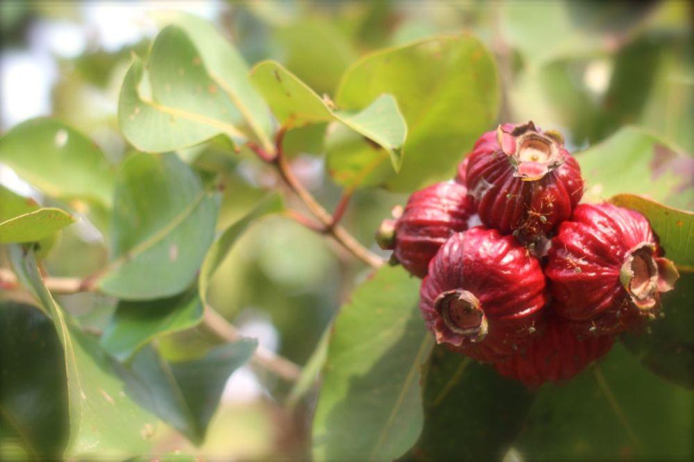 red bush apple on tree