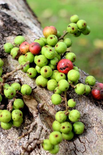 cluster fig close