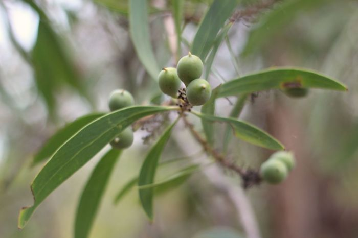 persoonia tree 3