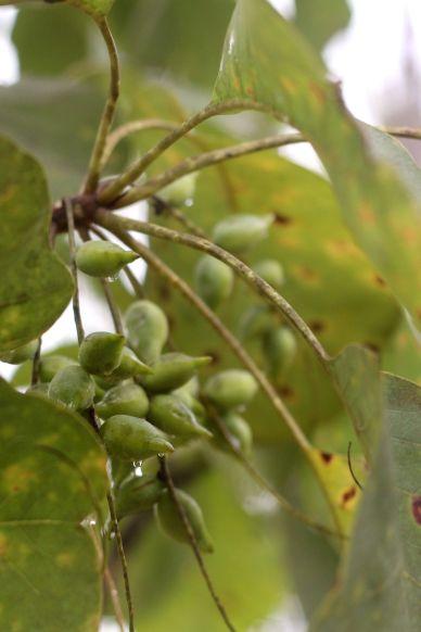 Terminalia on tree