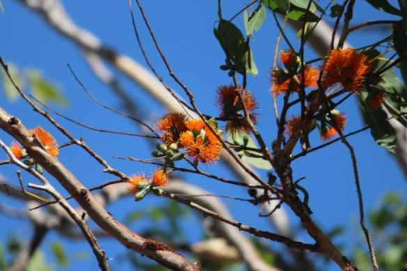 Euc miniata flowers