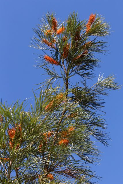 Grevillea against sky